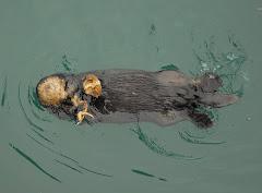 Sea Otter Enjoying a Crab
