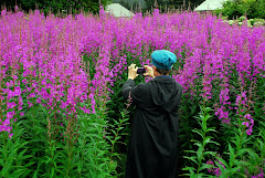 Me Taking a Picture of the Fireweed in Seldovia (see larger pictures at the bottom of the blog)