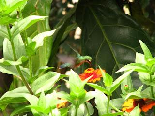 Esmeralda-de-bico-vermelho