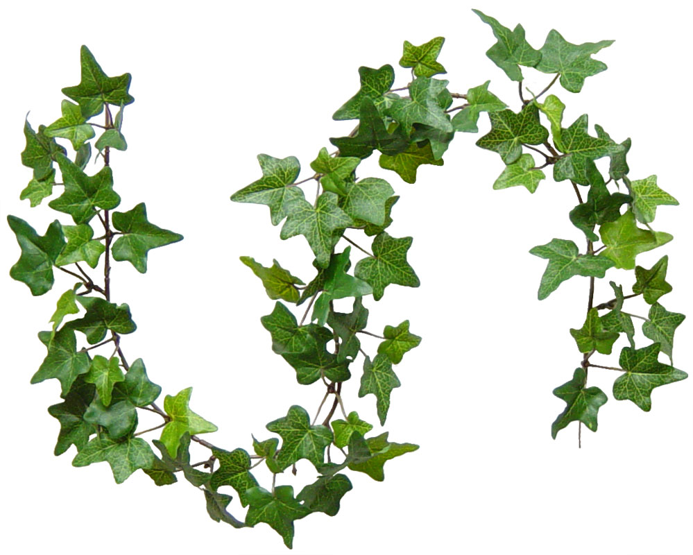 Banging the drum the holly and the ivy and mistletoe too ivy was held in high esteem among the ancients and its leaves formed the poets crown ivy was dedicated to the roman god bacchus the greek god dionysus buycottarizona