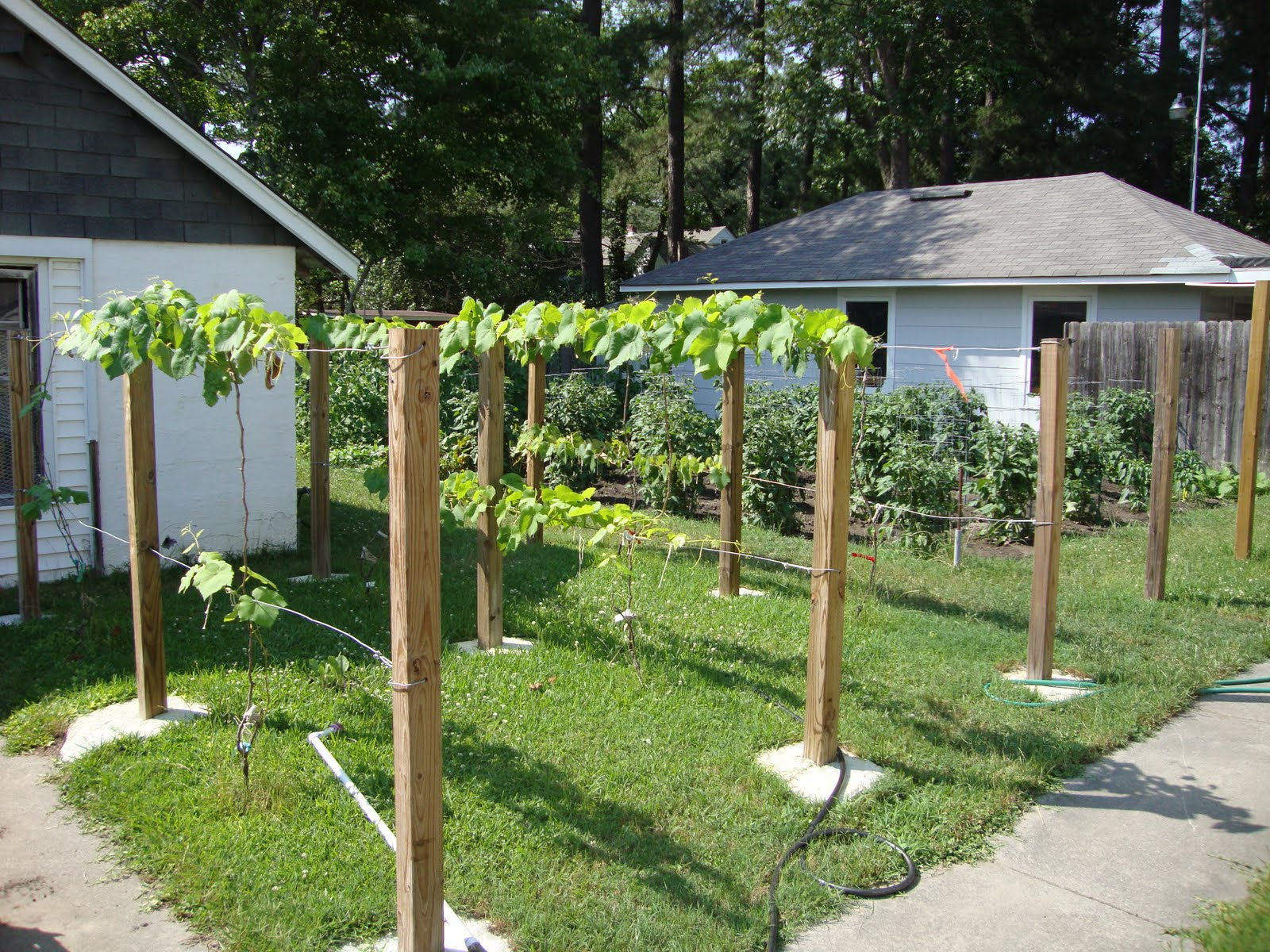 have 3 sets of posts and wires for my grape vines I have three