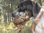 O Cão de Galinholas.