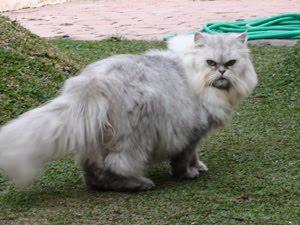 dijual murah kucing persia Patria Blitar