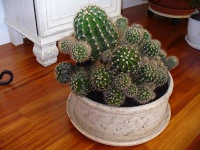 Jak přesadit kaktus