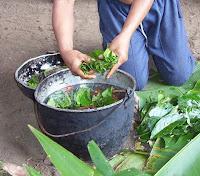 Preparação da Ayahuasca