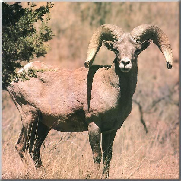 an ailing bighorn sheep
