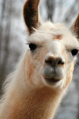 sweet baby llama