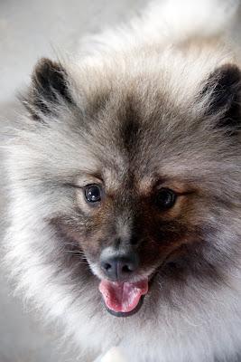 keeshond puppy