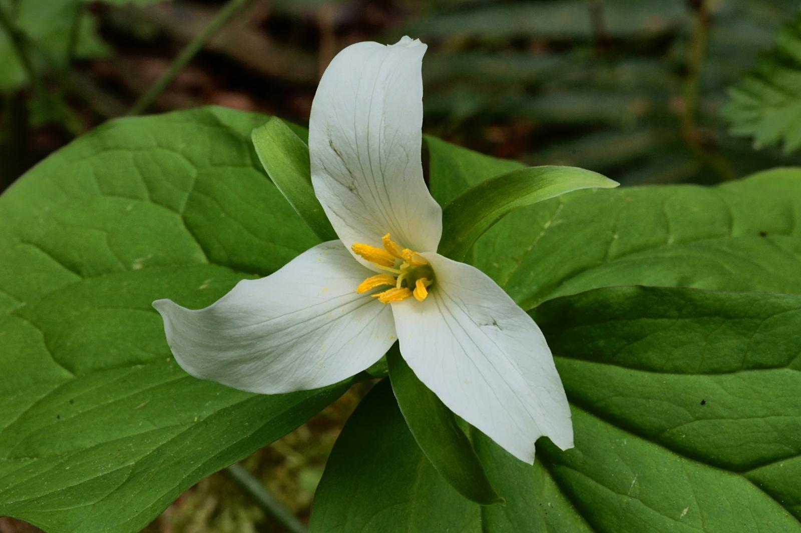 Victoria Daily Western Trillium Trillium ovatum