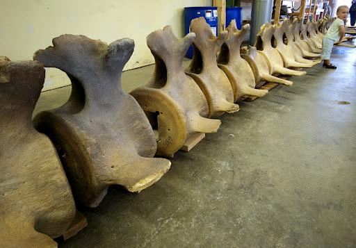 blue whale, Victoria, BC, Canada, Beaty Biodiversity Museum