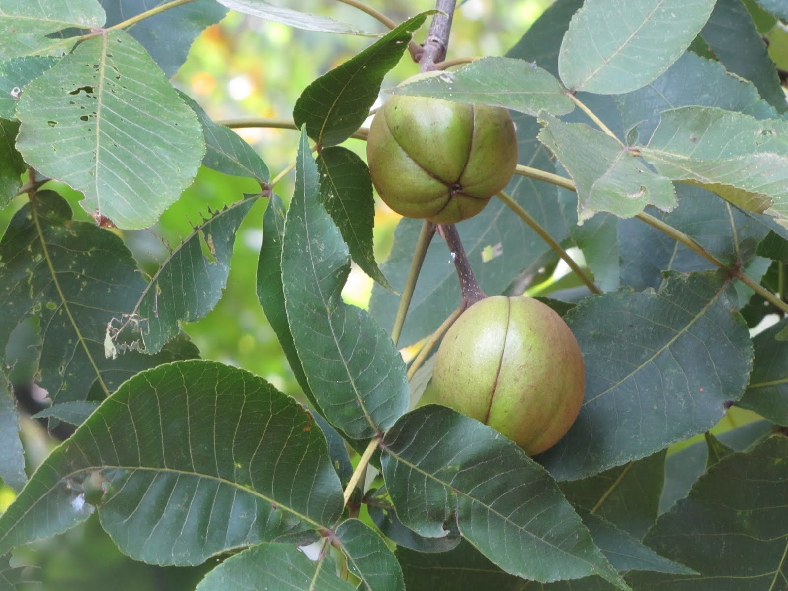 how to find a hickory tree
