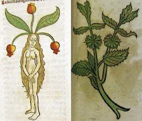 ADAM  OTU ,mandragora officinarum.