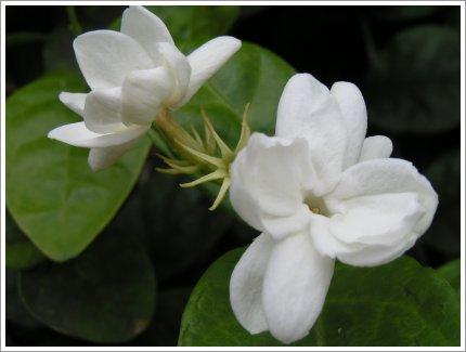 Picture Jasmine Flower on Puspita Melati  Sekilas Tentang Bunga Melati