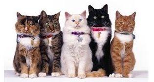 Gatos Adultos