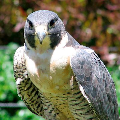 http://4.bp.blogspot.com/_gV-NxB_52J8/TFr1qGILnxI/AAAAAAAAAg4/5IEzvrbZ-qo/s1600/bird_raptor_peregrine_369834_o.jpg