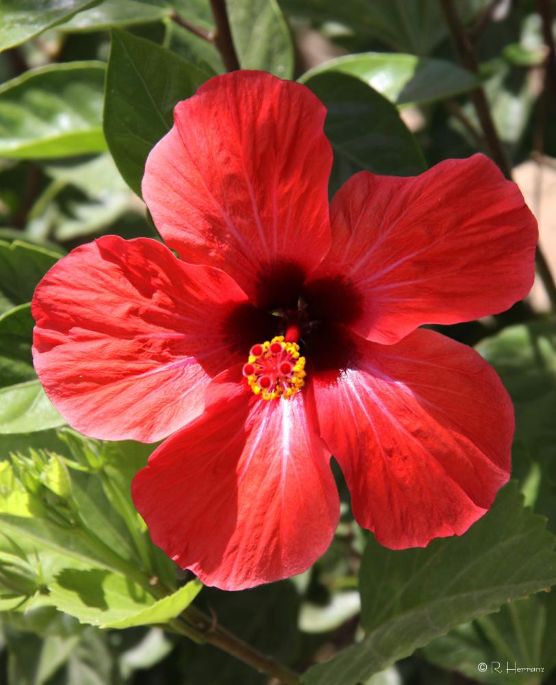 Fotosricardo h flores de jard n i garden s flowers i for Rosas chinas