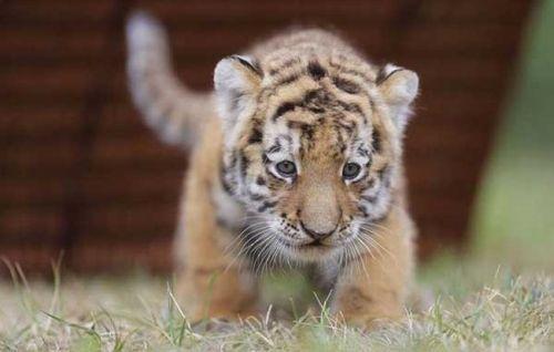 wallpaper tiger cub. pictures cute tiger cubs