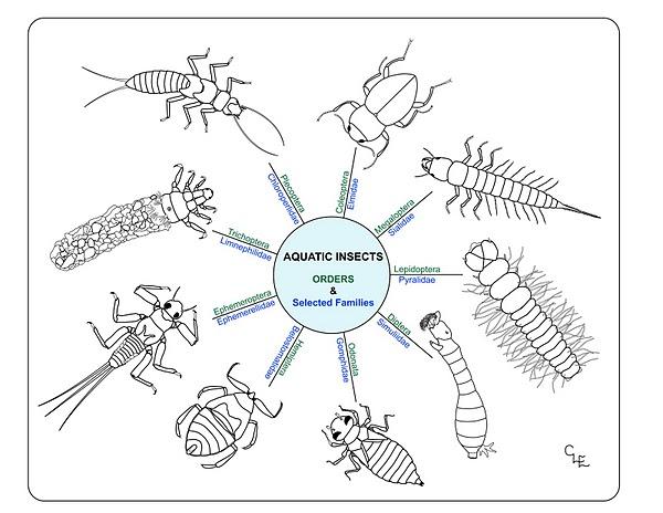 Aquatic insect class prep materials serc home school http4bpspotgvi87t0zm8tekx44jadoiaaaaaaaaeoaj 0kdkigx0s1600aquaticinsectorderselderg ccuart Choice Image