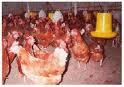 Cara Ternak Ayam Pedaging (Broiler)
