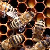 Tehnik Budidaya Lebah Madu