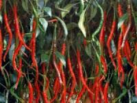 Tehnik Budidaya Cabe Merah