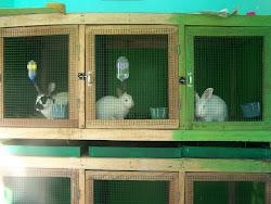 Kandang Kelinci Koleksi Peternakan King's Rabbit-Makassar
