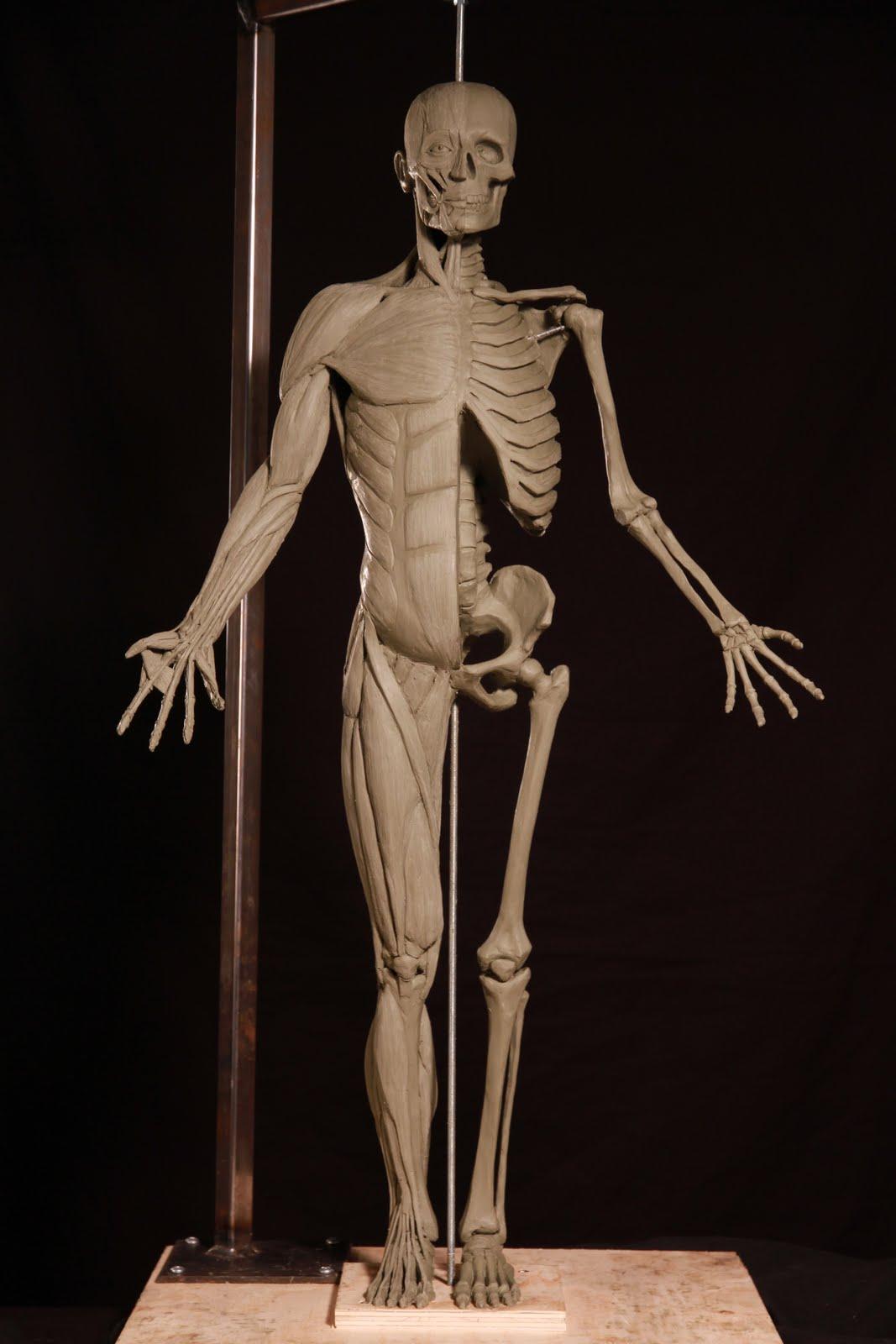 Curiomira: Anatomy and clay