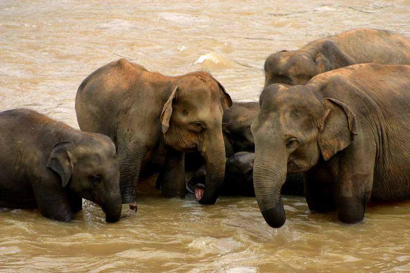 [elefantes-de-Sri_Lanka.jpg]