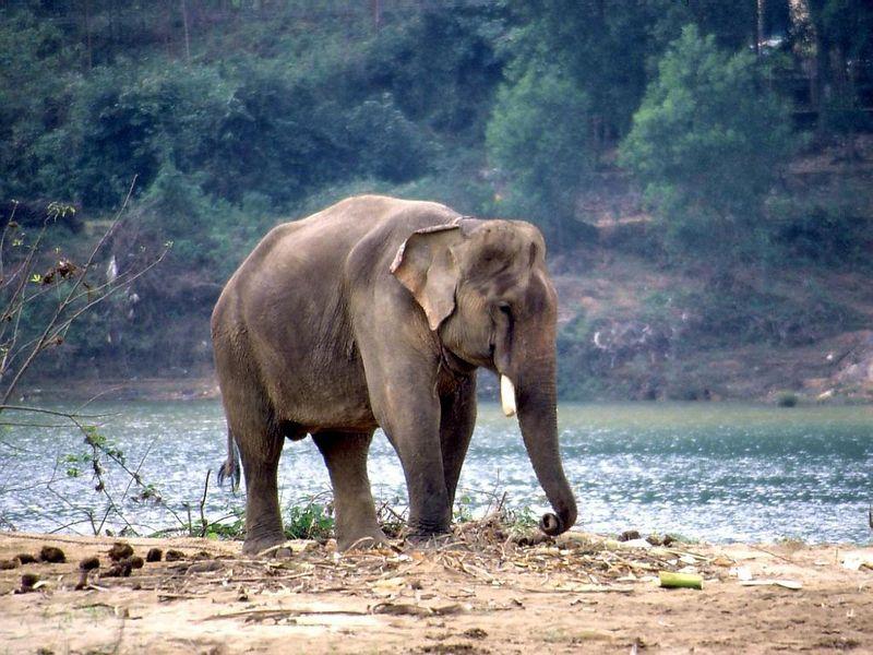 [Elefante-asiatico-indio.jpg]