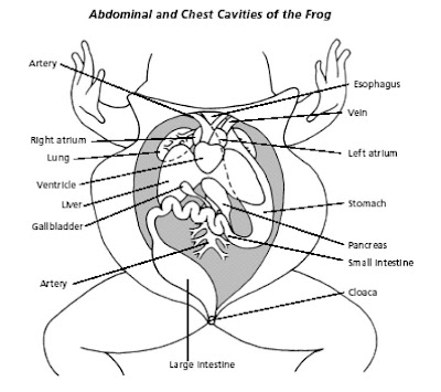 Heart Structure And Function also Earthworm together with Giantoctopus together with  likewise Simple Frog Diagram. on circulatory system diagram labeled