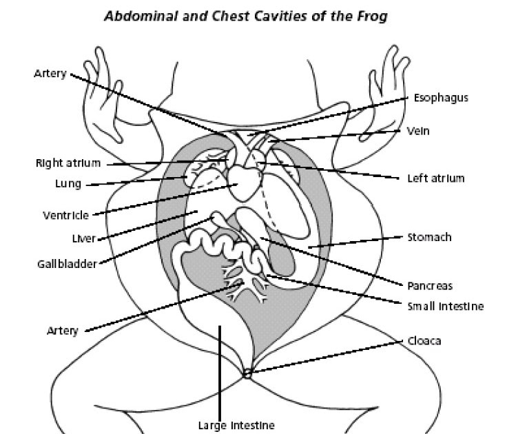 lla biology  simple frog diagram