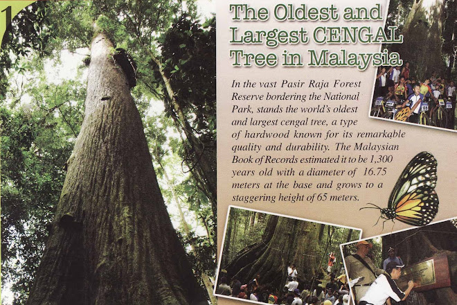 THE OLDEST AND LARGEST CENGAL TREE IN MALAYSIA