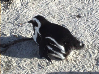 African Penguins in Love, Boulders Beach, South Africa