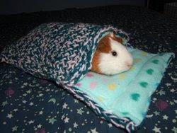 P'tites bêtises... Guinea+Pig