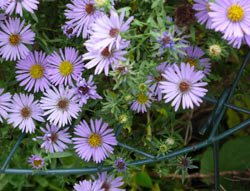 Grow-through grids on aster