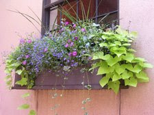 Windowbox by Suzanne Dandeneau, Denver, Colo.