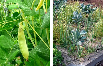 Golden peas and companion planting