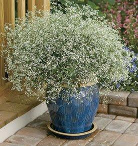 Euphorbia Fever