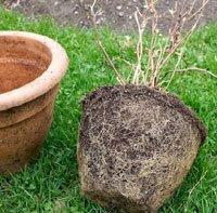Root-bound hydrangea
