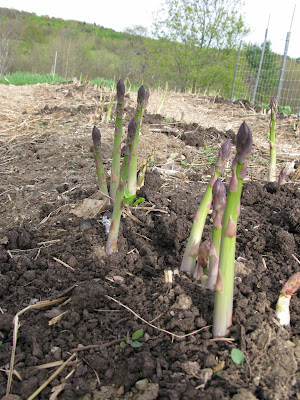 Week 3 in the asparagus season