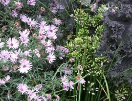 Aster paired with other perennials
