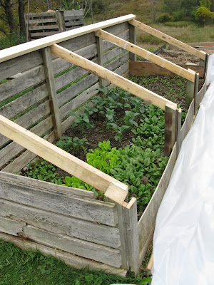 Coldframe with Spinach, romaine lettuce, cilantro, kale and radicchio