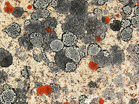 Lichens on dolerite,Mt Wellington - 31 March 2007