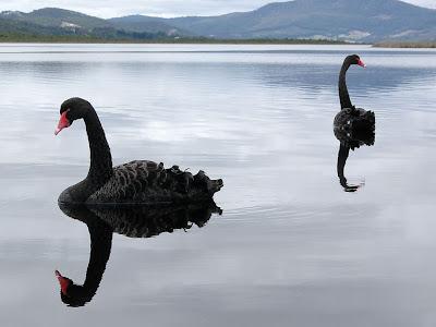 Black Swans, Huon River