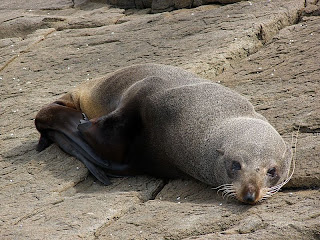 Fur Seal, Crescent Bay - 25th October 2008