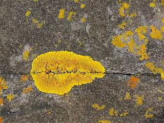 Yellow lichen, Standup Point, Crescent Bay - 25th October 2008