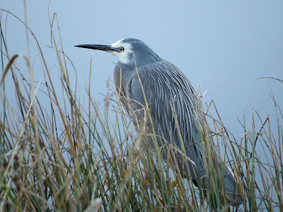 White-Faced Heron, Egretta novaehollandiae, Franklin, Tasmania - 15th June 2010