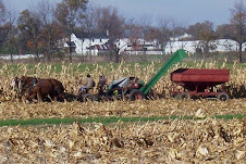 Amish picking corn on  a Fall day.