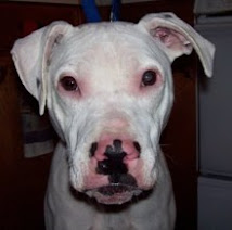 Tony~American Staffordshire Terrier Dalmation Mix~Sadly Sweet Tony Passed On To Rainbow Bridge!