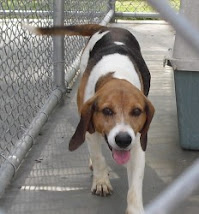 Lilly Female Beagle ~Rescued Pittsburgh PA 7-31-10 ~From New Kent, VA~ Adopt A Dog On Death Row!!!